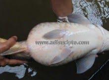 Induk ikan mas matang gonad