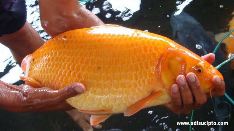 Jualan ikan baik benih maupun calon induk