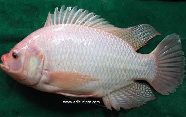 Strain ikan nila merah Bangkok