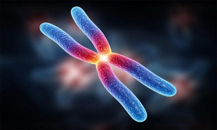 Membuat preparat kromosom - ilustrasi kromosom Adi Sucipto