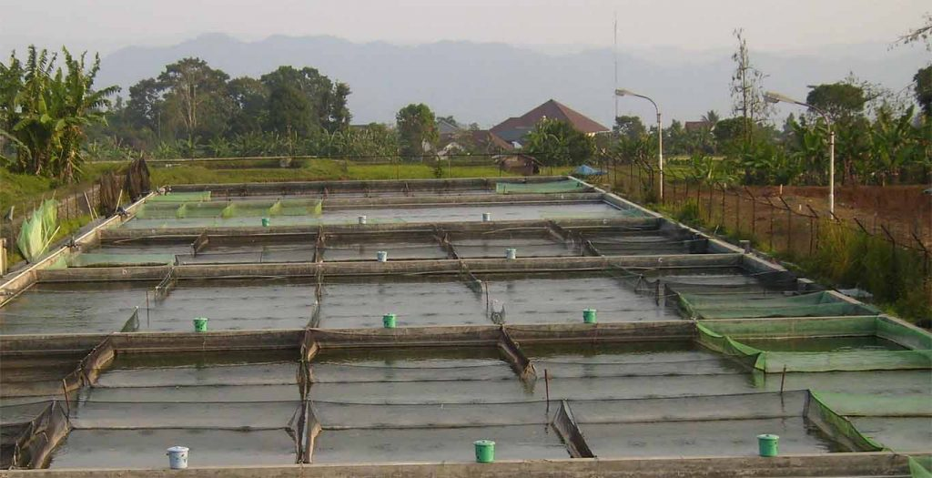 Produksi ikan nila jantan secara massal
