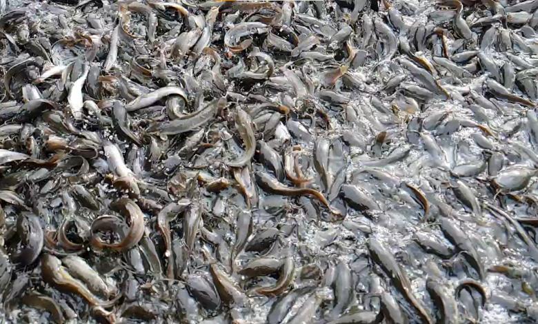 Masalah dan solusi dalam budidaya ikan lele bioflok